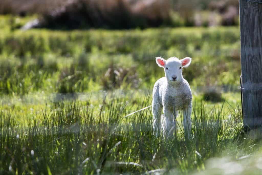 Kleines Schaf - wie ein Rasen Mäher ohne Kabel - eben Kabellos